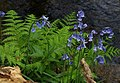 Bluebells by the Beadon Brook - geograph.org.uk - 1300076.jpg