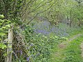 Bluebells in Broad Coppice - geograph.org.uk - 437989.jpg