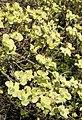 Blumen-Hartriegel (Cornus florida).jpg