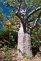 Boab tree near Kununurra WA.jpg