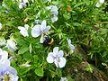 Bombus argillaceus Cordignano, Italy female 1.jpg