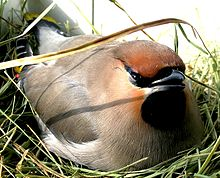 single waxwing sitting on a nest