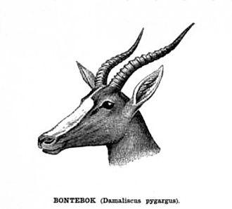 Bontebok - Bontebok head