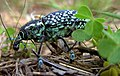 Botany Bay Weevil (4391633358).jpg
