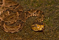 Bothrops asper (Panama) head.jpg