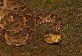 Bothrops asper (Panama) head.jpg