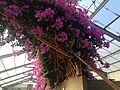 Bougainvillea in greenhouse near Mountain Hell Hot Spring.JPG