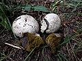 Bovista plumbea gljiva.jpg