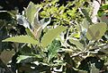 Brachylaena discolor tree - South Africa.jpg