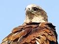 Brahminy Kite (13077150995).jpg