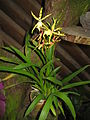 Brassia lanceana 'JEM' x Brassia Edvah Loo1.jpg
