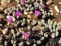 Braunsia maximiliani Gifberg 03.jpg