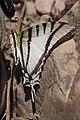 Brazilian butterfly1.jpg