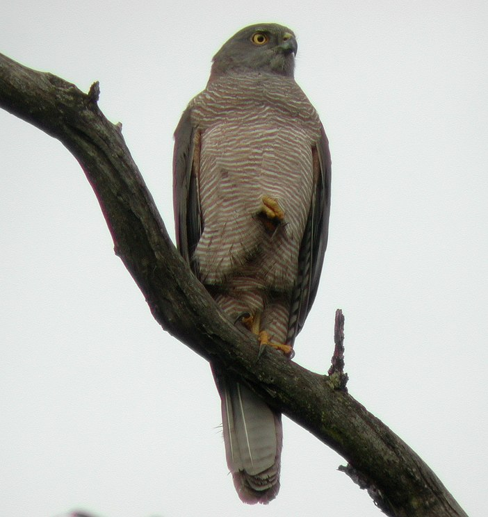 Brown Goshawk kur