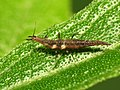 Brown Lacewing Larva (28979092765).jpg