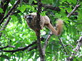 Brown lemur Isalo.JPG