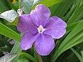 Brunfelsia dwyeri — Scott Zona 001.jpg