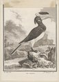 Buceros coronatus - 1700-1880 - Print - Iconographia Zoologica - Special Collections University of Amsterdam - UBA01 IZ19300192.tif