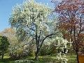 Buda Arboreta. Upper garden. Pear (Pyrus betulifolia). - Budapest District IX.JPG