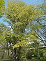 Budai Arborétum. Felső kert. Komlóbükk (Ostrya carpinifolia). - Budapest.JPG