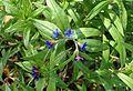 Buglossoides purpurocaerulea kz6.jpg