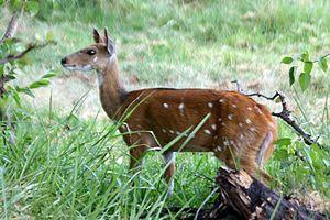 Imbabala - Female Tragelaphus sylvaticus, Botswana