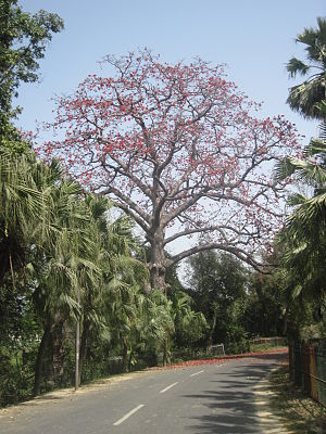 Butea monosperma -  A Semal Tree in full bloom in Faizabad, India.
