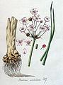 Butomus umbellatus — Flora Batava — Volume v4.jpg