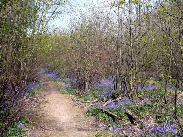 Bysing Wood is full of bluebells at the beginning of May - geograph.org.uk - 786661