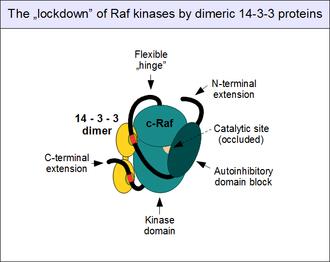 C-Raf - Image: C Raf 14 3 3 complex