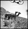 CH-NB - Persien, Elburs-Gebirge (Elburz)- Kamele - Annemarie Schwarzenbach - SLA-Schwarzenbach-A-5-06-166.jpg