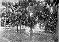 COLLECTIE TROPENMUSEUM Vruchtdragende djati-ronggo-hybride cacaobomen met kolven en mierennesten (sloemprings) TMnr 10012226.jpg