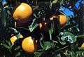 CSIRO ScienceImage 2313 Valencia Oranges.jpg