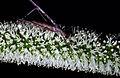 CSIRO ScienceImage 57 A Zaprochi Grasshopper.jpg
