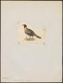 Caccabis melanocephalus - 1820-1863 - Print - Iconographia Zoologica - Special Collections University of Amsterdam - UBA01 IZ17100301.tif