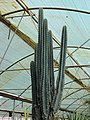 Cactaceae in iran- mahallat city 09.jpg