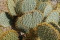 Cactus in Joshua Tree National Park (3433756662).jpg