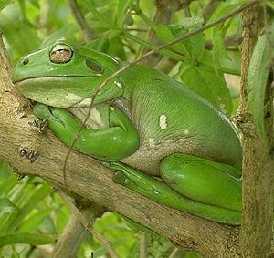 Litoria - Australian Green tree frog (Litoria caerulea)
