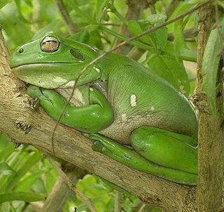 genus of amphibians