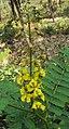 Caesalpinia mimosoides 17.JPG