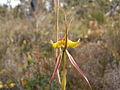 Caladenia lobata (3).JPG