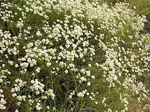 Eriogonum fasciculatum - Blooming on Mount Wilson, San Gabriel Mountains, Southern California.