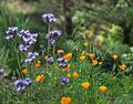 California Poppies (26444987332).jpg