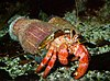 A hermit crab carrying two large sea anemones on its shell.