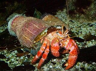 Hermit crab superfamily of crustaceans
