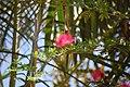 Callistemon Flower (2).jpg