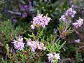 Calluna vulgaris (15341204652).jpg