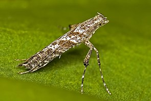 Caloptilia cuculipennella