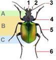 Calosoma sycophanta2009.png