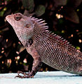 Calotes versicolor (Garden Lizard) spotted at Madhurawada 01.JPG